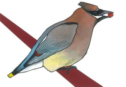 03-Cedar Waxwing