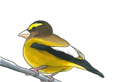 09-Grosbeak